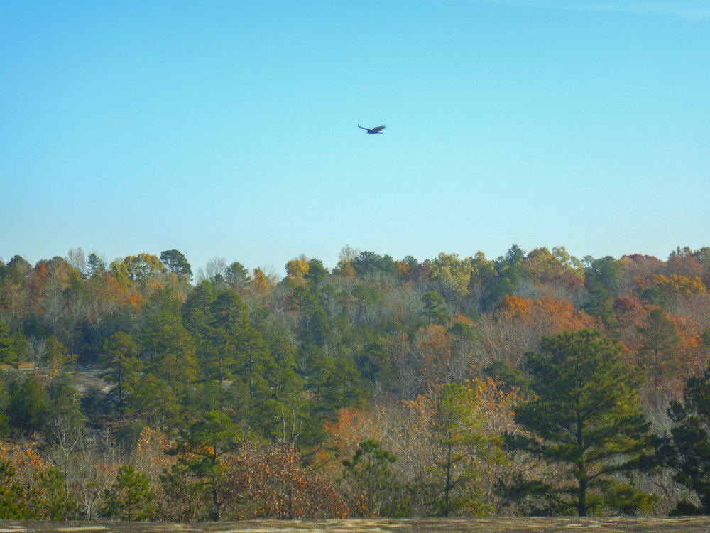 This hawk took off as soon as I stepped out from the treeline.