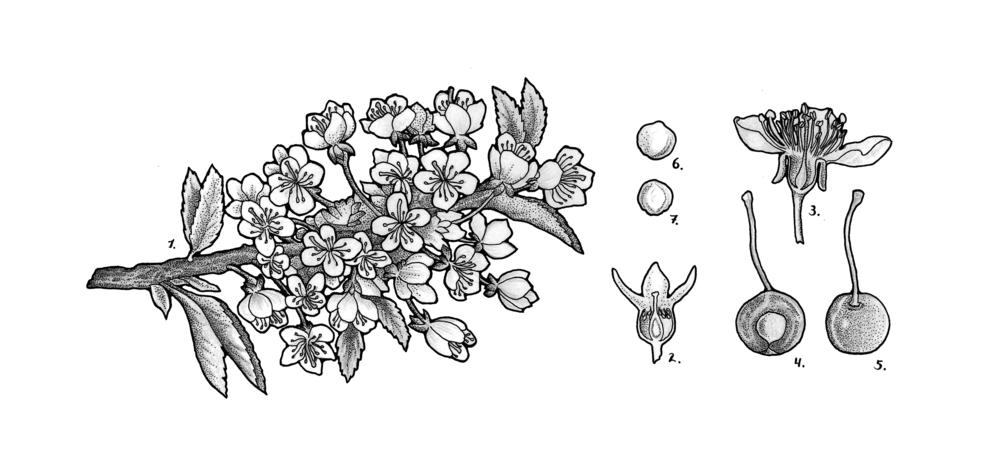 Prunus cerasus (sour cherry)