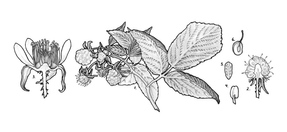 Rubus idaeus (red raspberry)