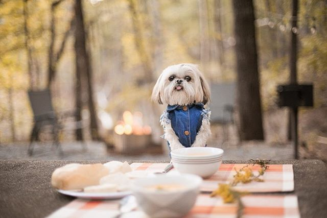Let's go glamping! ⛺👑🌳🔥🍽 #glampdontcamp #glampinglife  ________ 🐶: @sparklesthediva 📷: @hot_photo_dog ⛺: @georgiaglamping 🍽: @dreamdinnerscummingga  ________ It's time for #glamping season @georgiaglamping and you can bring your furry glamper! Roast marshmallows by the fire, relax in the luxury air conditioned #teepees, or play in the lake. Enjoy the outdoors with all the modern luxuries! _________ Let @dreamdinnerscummingga come up with your dream glamping menu for a few or the whole family!