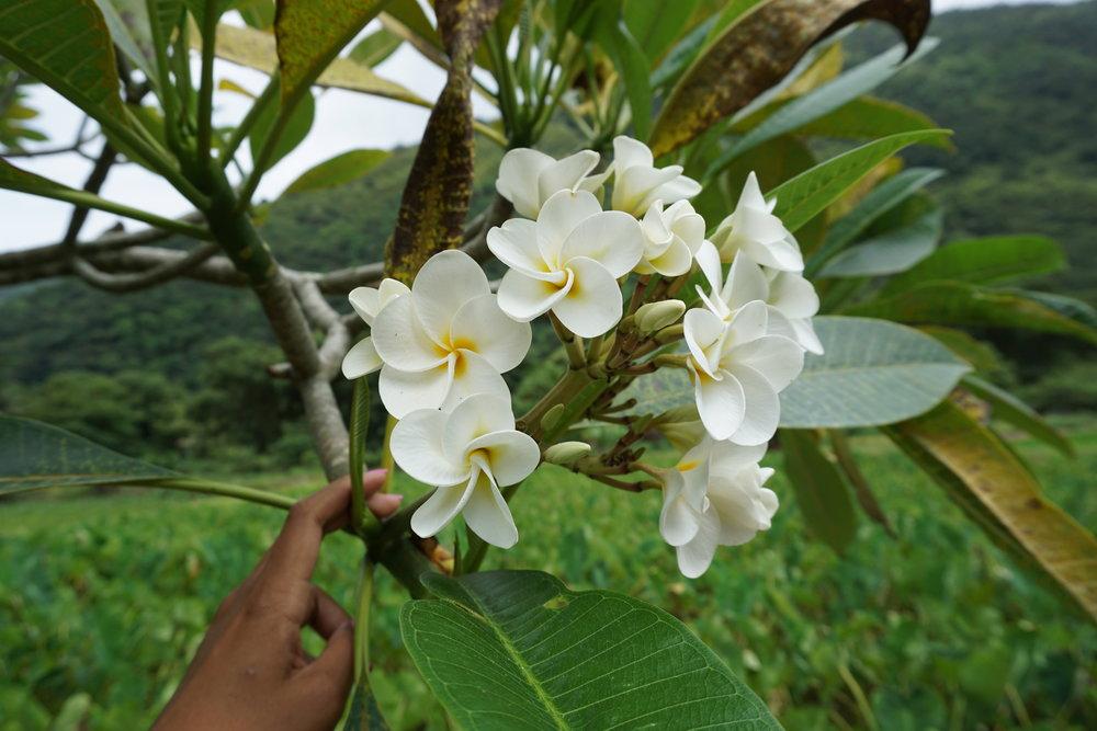 temple tree, plumeria
