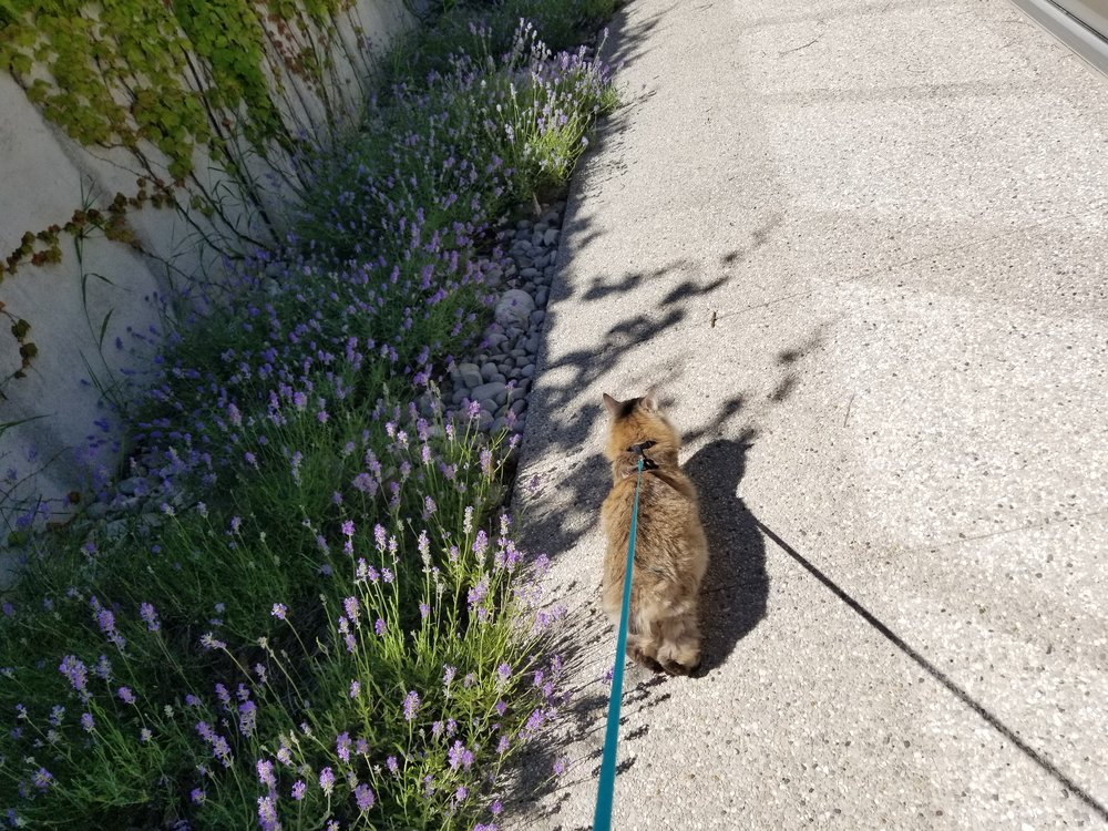 Gunner, my winery kitty, exploring the lavender at Brengman Brothers