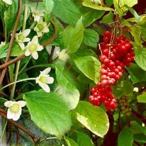 Schisnadra chinensis  (schisandra, wu wei zi)