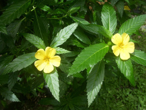 Turnera diffusa  (damiana)