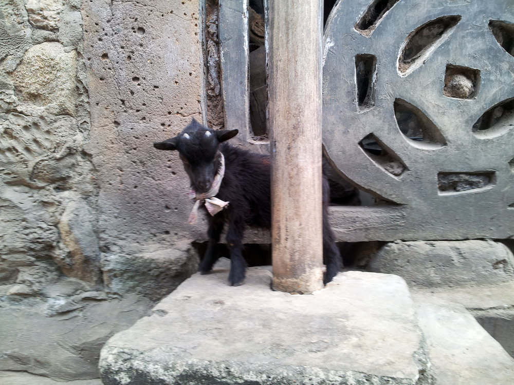 At the backyard of Susanne Wenger's home in Òṣogbo, the typical 'urban' goat (Yor. ewúrẹ́) from Yorùbáland, outside of Nigeria known as the 'Nigerian Dwarf Goat'. Its thin skin is one of the main ingredients for Àyàn talking drums. ©Orisha Image