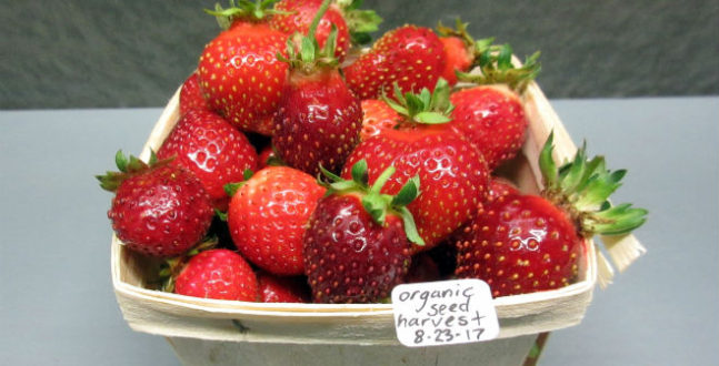 """Seed propagated strawberries are flagged to provide an """"environmentally friendly alternative to the vegetatively propagated varieties currently relied upon by the strawberry industry"""". According to Mark Bolda from UCANR, This is based on: 1. Seed propagation would mean less dictation of planting date by nursery harvest schedules and purchaser climatic region; and 2 Eliminate the chemical inputs necessary in bare root production systems and avoid transmission of diseases by living plants."""