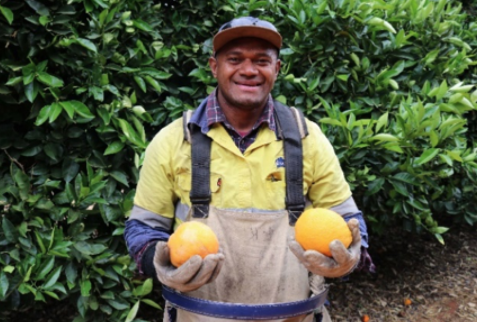 Jone Dusilele Raitani from Koro Island in Fiji picking citrus at Costa farm in Renmark