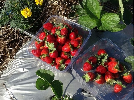Photo Credit:  Ballantyne's Strawberries Instagram