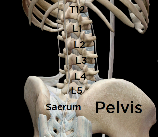 View of the low back & pelvis from the back.