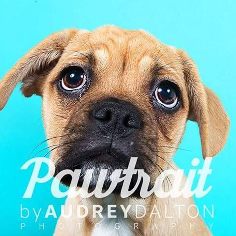 Don't miss an opportunity to have your dog photographed @pet_expo by @pawtraitireland & become part of the pack!  Stand 6&7, Red Zone  #frug #pug #jug #puppy #puppies  #pupperday  #pawtraitireland #puppylove #puppydogeyes #toocute #ohmydog