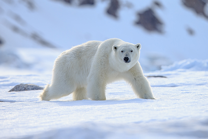 - Svalbard has more Polar Bears than people