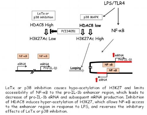 HDAC8.jpg
