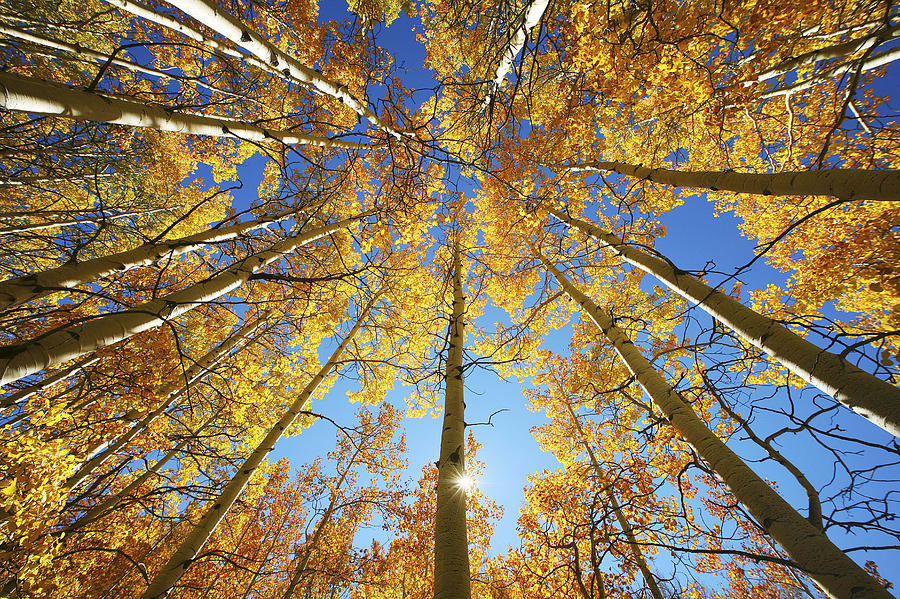 aspen-tree-canopy-2-ron-dahlquist.jpg
