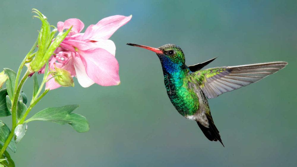 getty-hummingbird.jpg