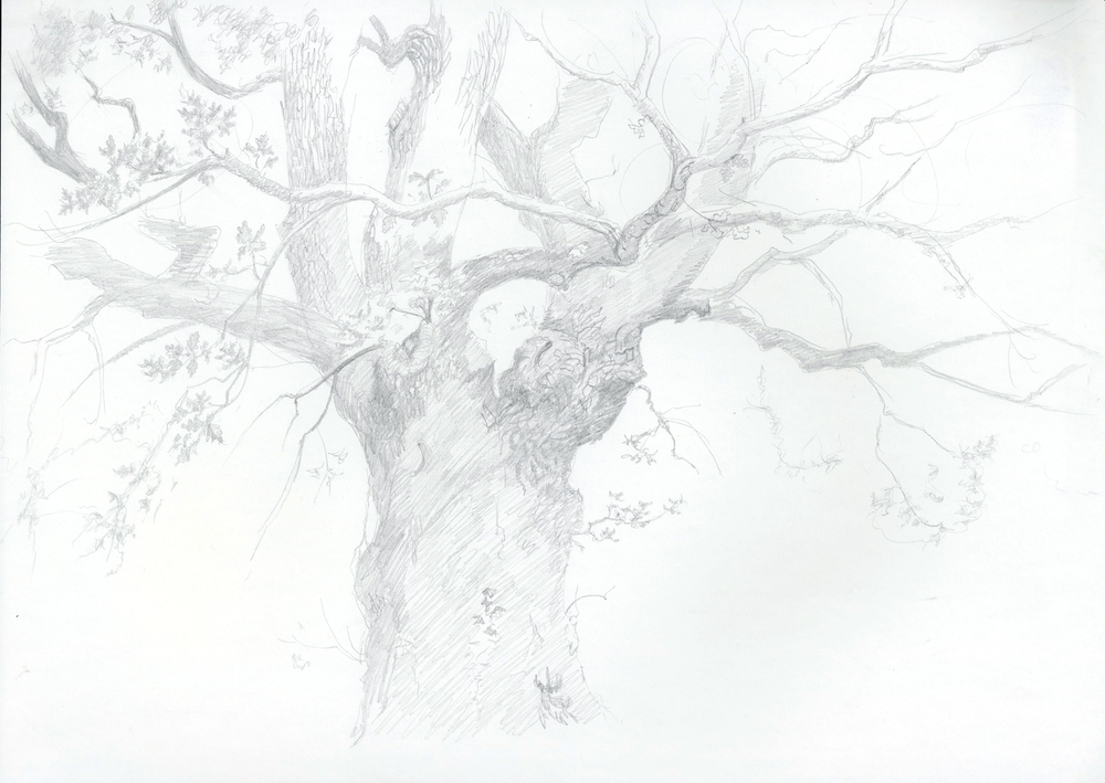 Hollybank Oak - pencil