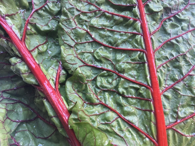 How COOL is swiss chard! You can see the deeply colored red veins delivering nutrients to the leaves!