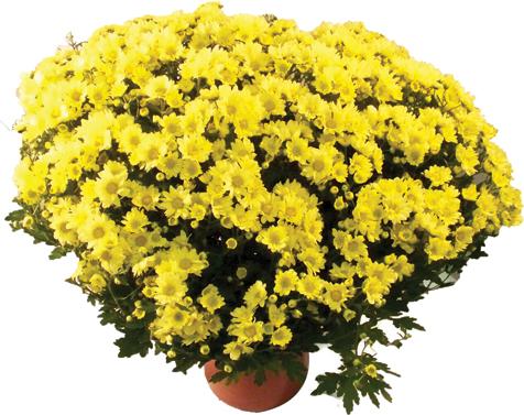 Crisantemo Vaso