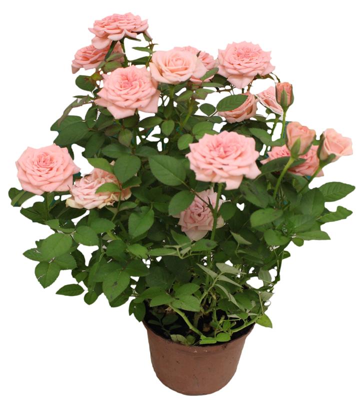 Roseira Mini