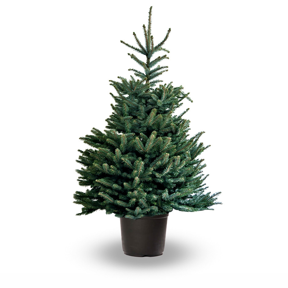 Is a Living Christmas Tree right for your family? — Every Bloomin\' Thing