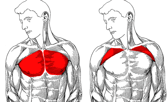 Muscles of the chest