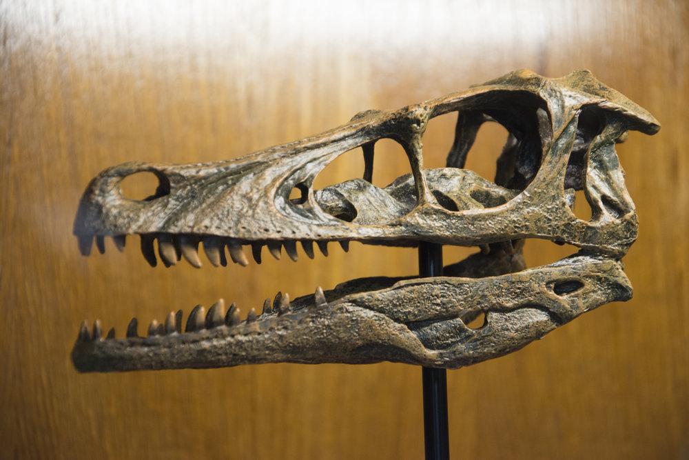Velociraptor Skull.jpg