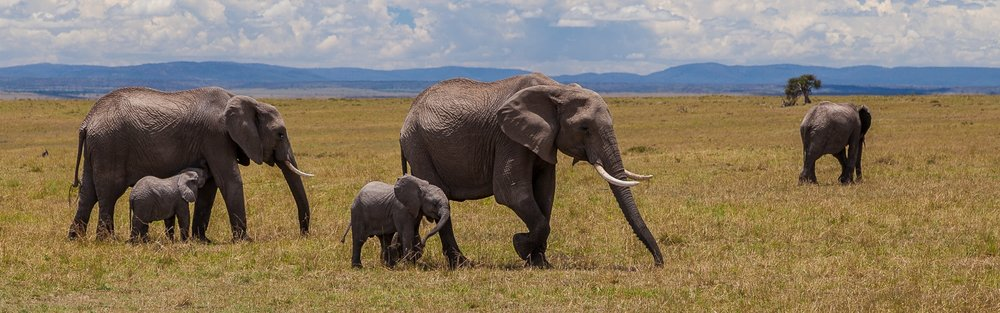 African_elephants_in_Maasai_Mara_National_Reserve_-_Kenya.jpg