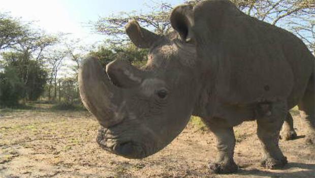 last-male-white-rhino-620.jpg