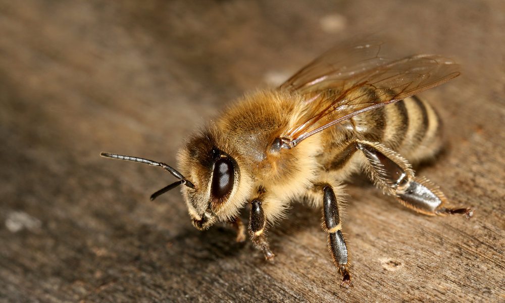 Apis_mellifera_carnica_worker_hive_entrance_3.jpg