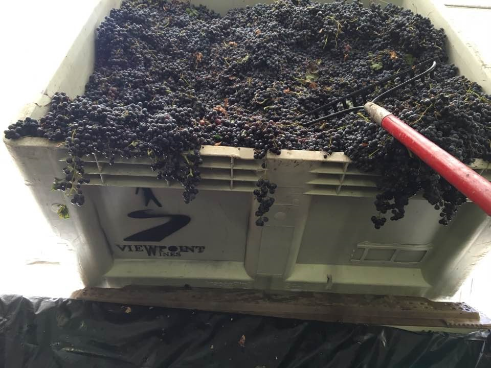 The 2016 harvest is on and it's awesome! This bin holds 400 pounds of grapes.