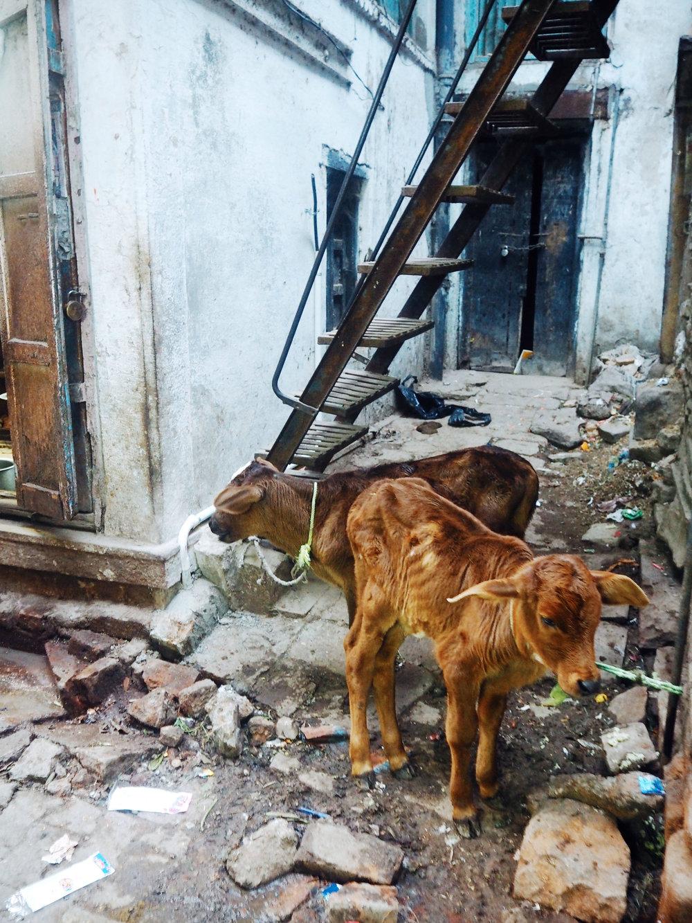 jodhpur cows