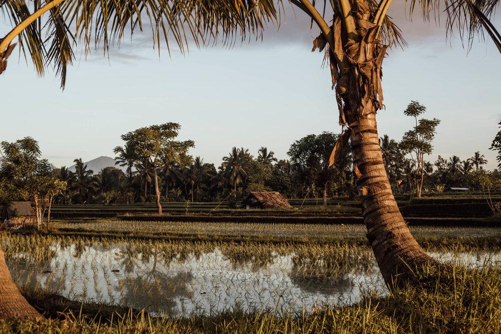 rice fields 1.jpg