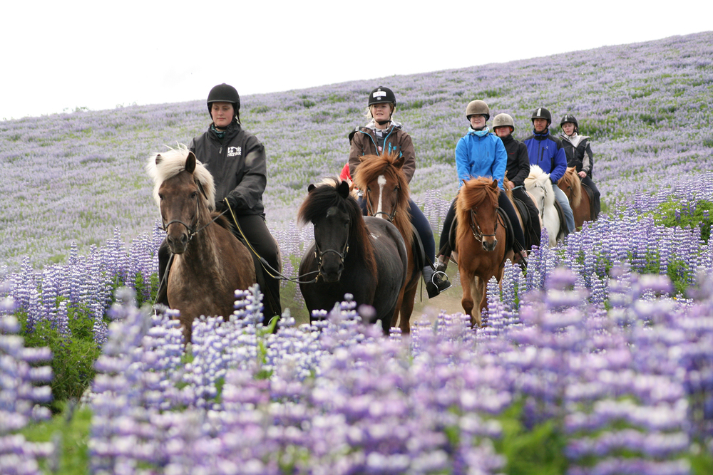 Ishestar Icelandic horse Atlantik DMC Incentive Cruise Conference PCO.jpg