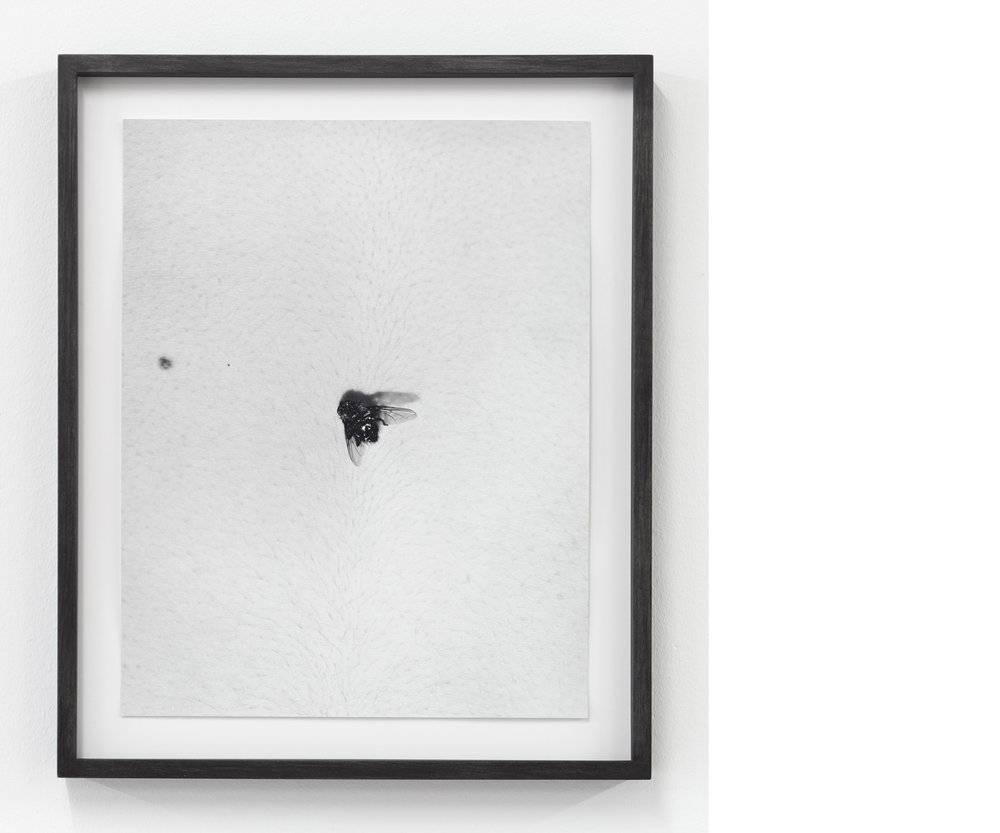 Fly on Body, 2012 , Silver Gelatin Print, 14 × 11 inches