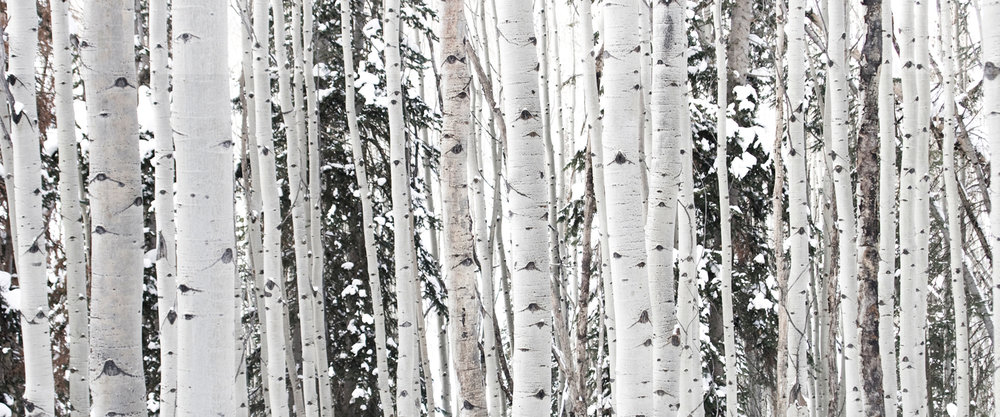 winter-aspens.jpg