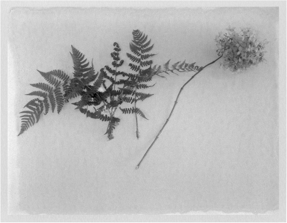 "Display of Ferns. 2017. Archival Pigment Print. 7"" x 9"""
