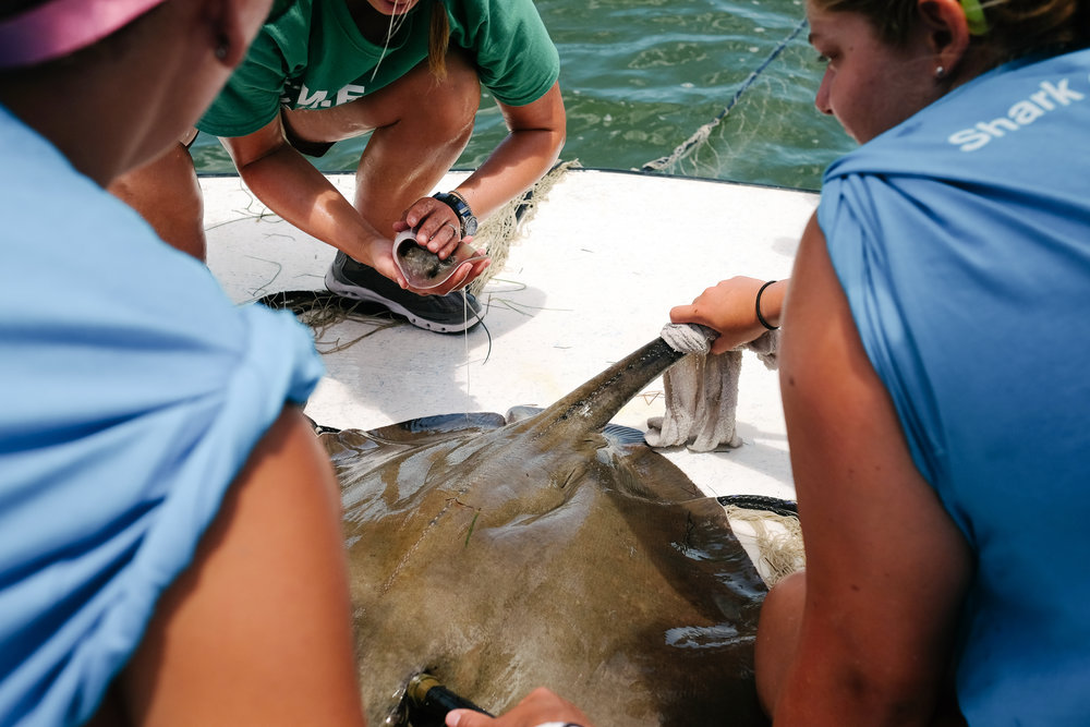 The southern stingray gives birth to three babies shortly after being caught. The babies, which are fully developed and self-sufficient as soon as they are born, are measured before being released back into the wild along with their mother.