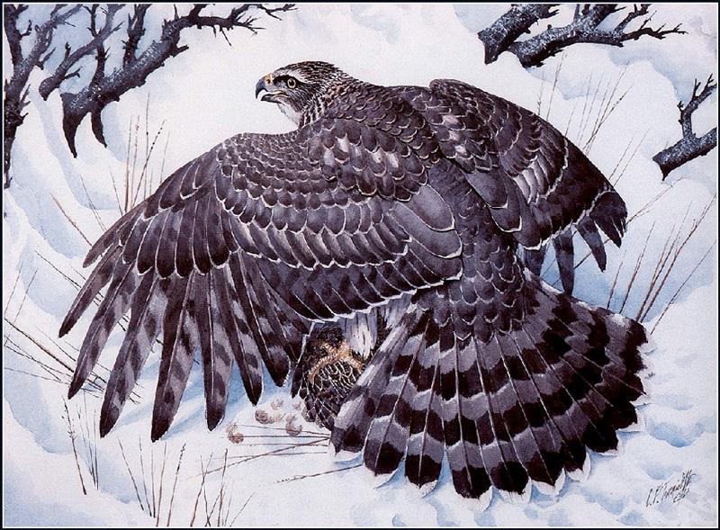 Hawk 6