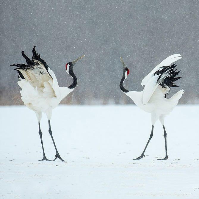 Red-Crowned Crane 5