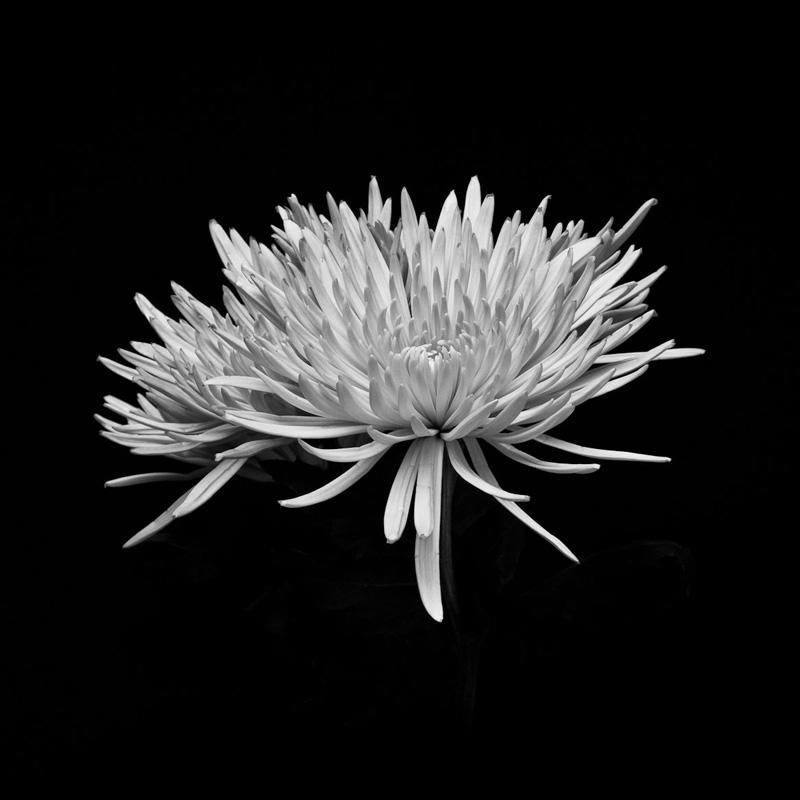 Chyrsanthemus 4