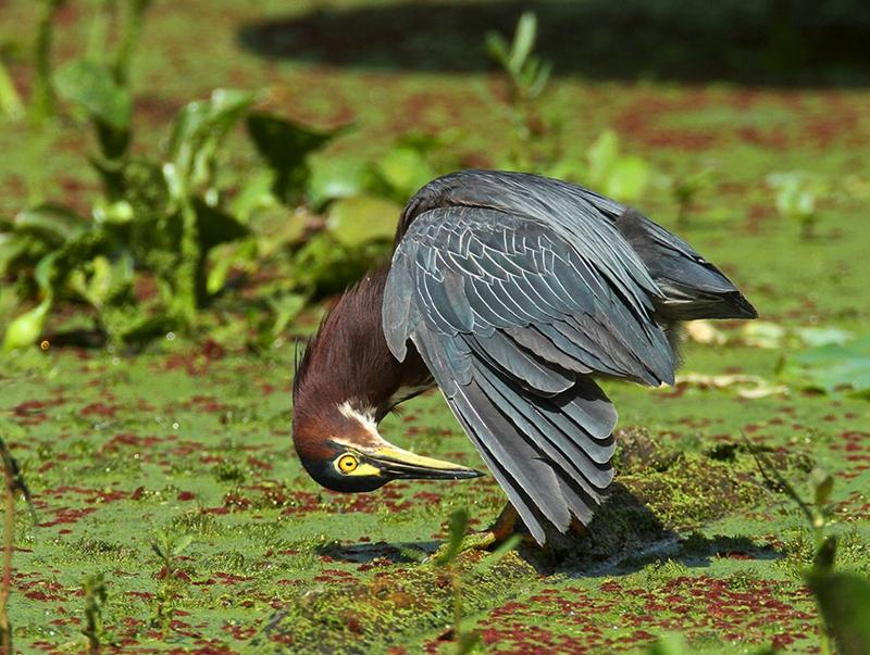 Green Heron 6