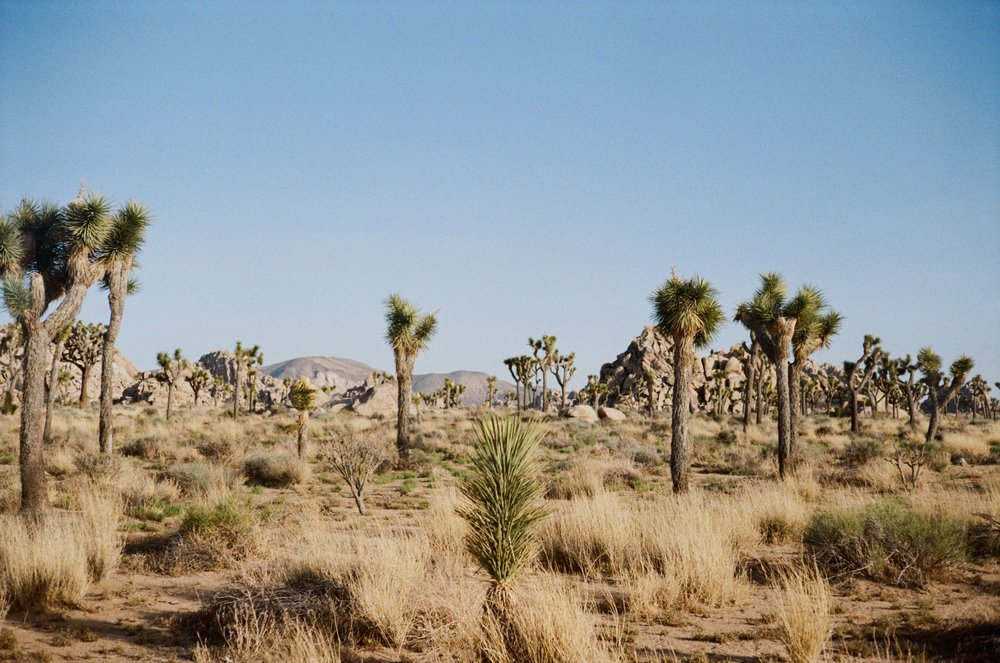 - Joshua Tree, CA on film. One of my favorite places in the world. We love the desert!