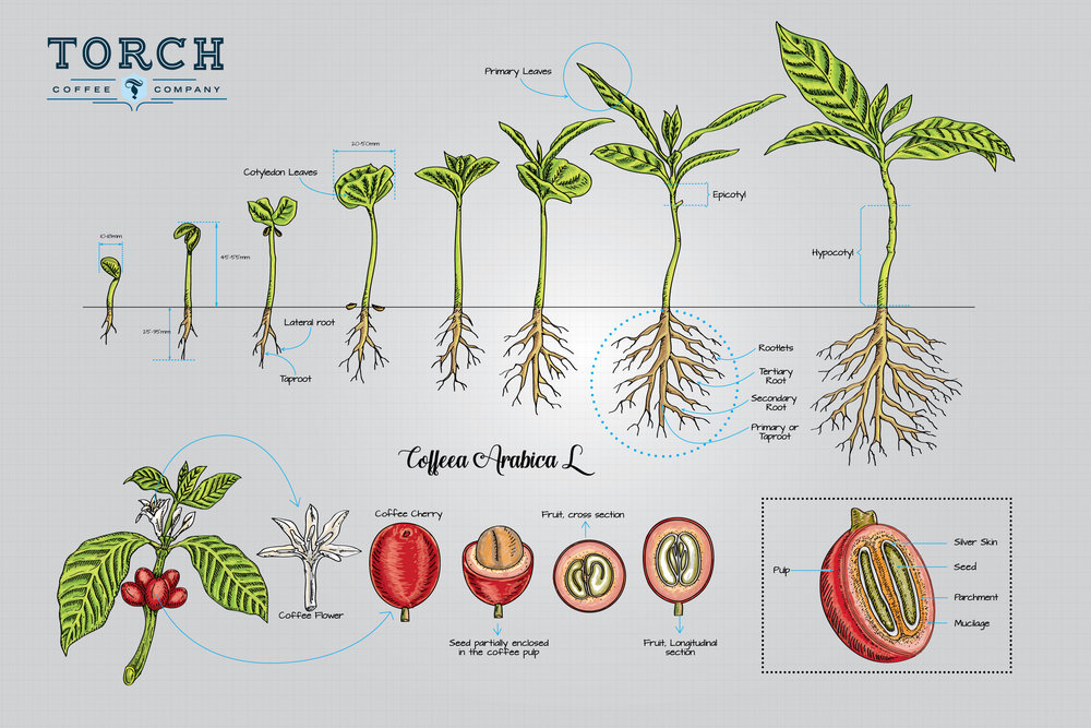 Our newest infographic displays the growth process a coffee plant from the moment it breaks free from the ground to the time when the plant flowers and bears its fruit.