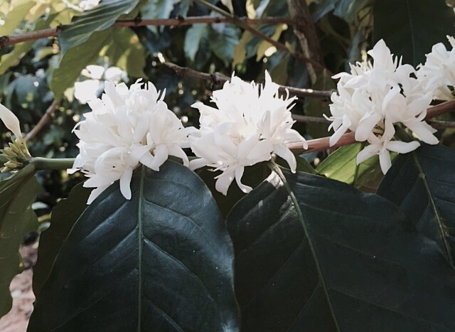 Robusta's are recognized by their large leaves, bigger than the size of one's hand.