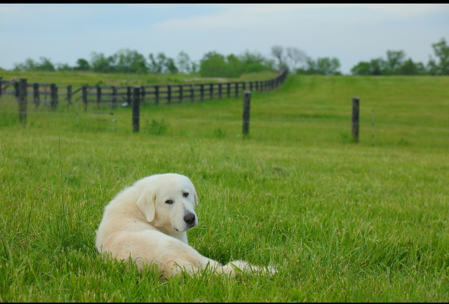of course, we also must mention our hard working livestock guardian dogs, Arkadash, Ayla, and Azref. These amazing Akbash put their life on the line day in and day out to make sure the stock are safe from both land and air predation.