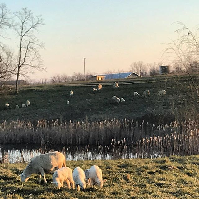Can't imagine this was just yesterday! Much prefer this to the Snow we woke up to! #lamb #sheepfarm #farmher #kentucky #spring #heritage #health #countrylife #katahdin