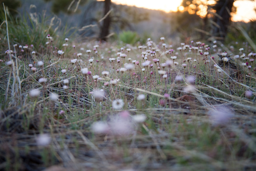 flowers at mogollon rim