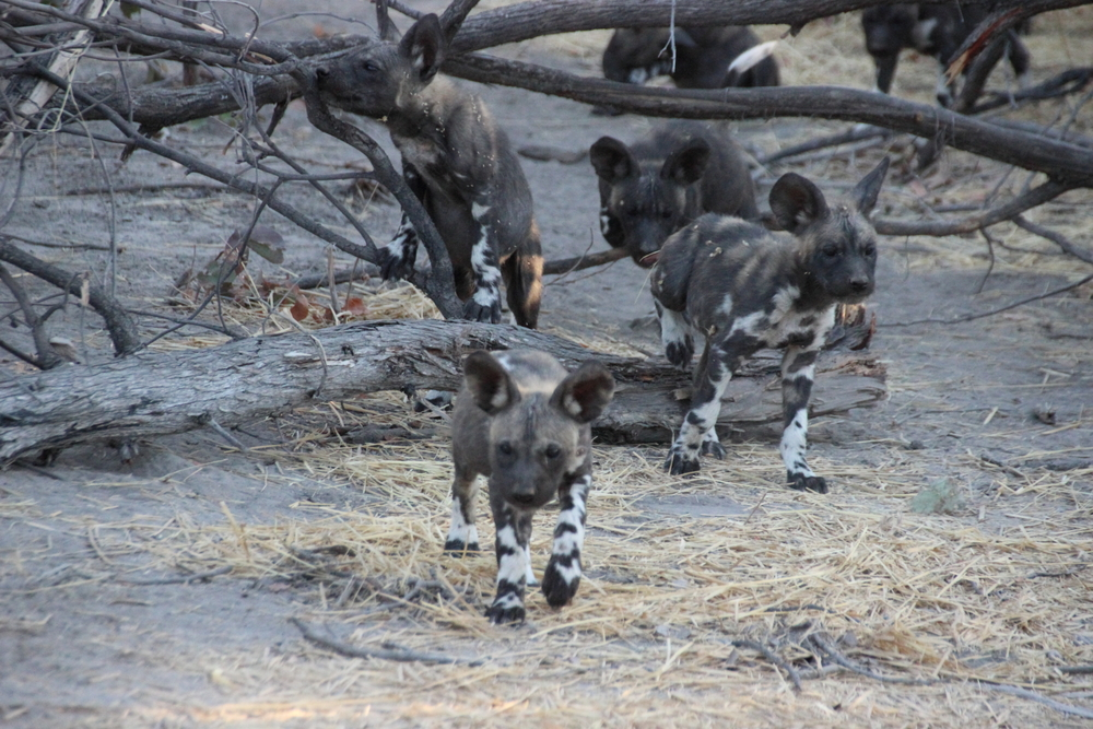 Curious wild dog puppies...