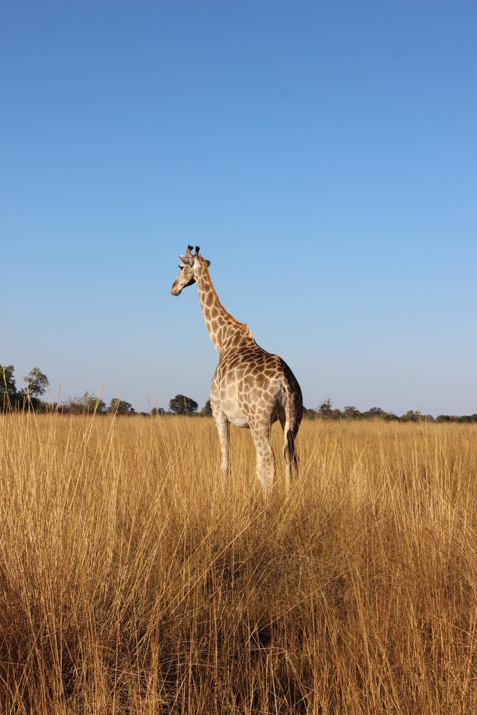 The open plains of Shinde: Giraffic Park ;)