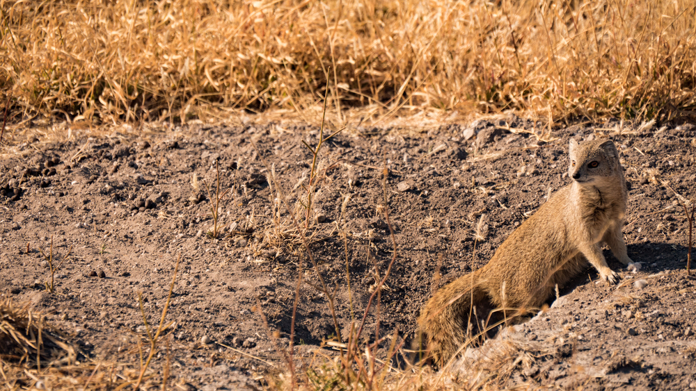 Beautiful yellow mongoose on the look-out