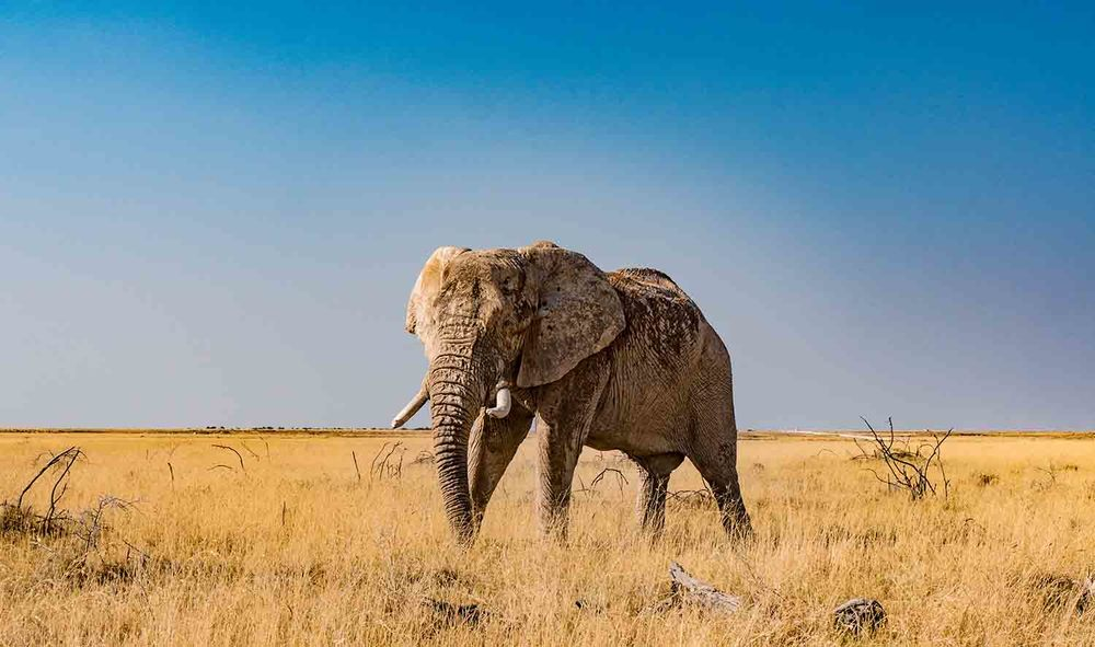 The iconic Etosha elephant